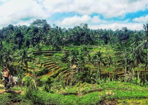 Jatiluwih Rice Terrace Tour Ubud Rice Fields Bali Indonesia